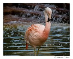 Captured this Flamingo at the Como Zoo in St Paul MN last week. Como Zoo, Brown, Brown Colors, Chocolates