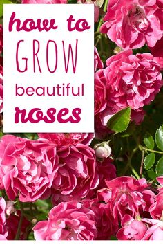 10 easy tips for growing rose! Some of my favorite rose gardening tips for beginners. Gardening For Beginners, Gardening Tips, Growing Flowers, Planting Flowers, Budget Flowers, Flowering Shrubs, Flower Seeds, Shade Garden, Beautiful Roses