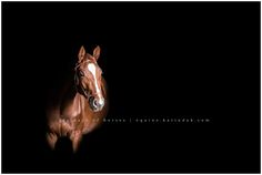 QHROME HTF| 1.5YEAR OLD HANOVERIAN GELDING|WALLER,TX Qhrome, Qhrome HTF, is a Hanoverian Gelding. His sire is Qredit, his dam is Chaquita. He was bred byHilltop Farm. This young chestnut gelding with 3 white socks has quite the personality. He loves to be scratched and loves to give sloppy kisses! His owner, Amy, had always wanted …
