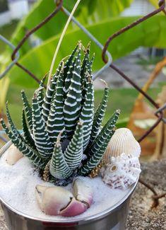 Suculenta Cebra Haworthia Attenuata