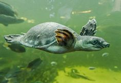 Een Pig Nosed Turtle