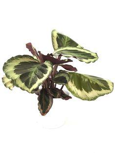 CALATHEA Flamestar Calathea, Houseplants, Plant Leaves, Exotic, Tropical, Gardening, Plants, Tree Structure, Indoor House Plants
