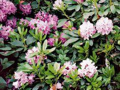 Niet krajšie kvitnúceho kríka, ako je rododendron. Obsypávajú ho nádherné veľké kvety, ktoré na jar vytvoria neprekonateľnú symfóniu farieb – od ... Garden Design, Flowers, Plants, Gardening, Florals, Garten, Backyard Landscape Design, Landscape Designs, Planters