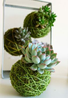 kokedama :: japanese string garden using succulents Hanging Succulents, Cacti And Succulents, Hanging Plants, Hanging Gardens, Diy Hanging, Moss Garden, Garden Plants, House Plants, Herb Garden