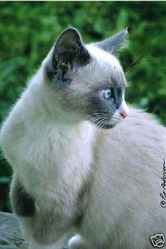 4x6 photo  Blueeyed Kitten  color feline by seahorsestudios, $3.99