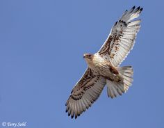 Ferruginous Hawk in Flight Photo - Photograph - Picture