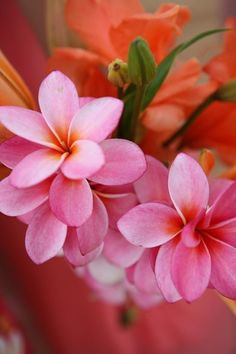 Frangipani - pink