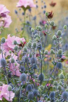 outdoor flowers Eryngium planum 'Blaukappe' and pink Hollyhock mallow (Malva alcea 'Fastigiata'), mid July. Wild Flowers, Beautiful Flowers, Hollyhock, Arte Floral, Garden Cottage, Prairie Garden, Dream Garden, Pink Garden, Garden Planning
