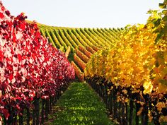 Vineyard | Weinberg in Herbstfarben / Vineyard in autumn colors