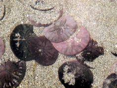Beautiful sand dollars