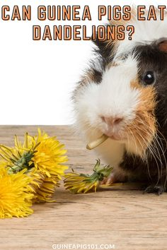 Dandelions are a prevalent plant with bright yellow flowers that grows almost everywhere. Dandelion is very cheap and readily available, as many think this as an unwanted weed. But can this unwanted weed be useful for our guinea pig? Can guinea pigs eat dandelions? Is it safe for guinea pigs? Let's find out! #guineapigseatdandelions #guineapigcare #guineapig101