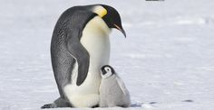 King penguin are the most wonderful father of the world,they can stand hungry for 4 months to take care baby until the mother penguin comback after long journey for food