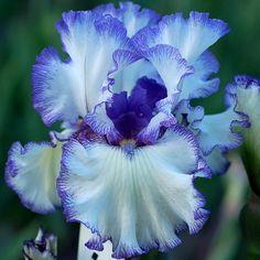 "Iris ""Freedom Song"""