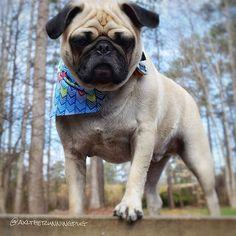 Reposted from @axltherunningpug #pugs #pugsofinstagram #pugstagram #pugsproud #whitepug TAG A FRIEND