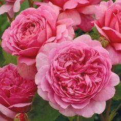 Princess Alexandra of Kent,  David Austin Roses