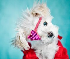 My name is Lola, I am a show girl. And an ambassidog for no more puppy mills. My big brother Luka will continue on with the purpose of educating about puppy mills. National Mill Dog Rescue saved my little life.