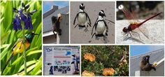 A variety of wildlife in Pringle Bay and surrounding. Baboon, Daydream, Penguins, Wildlife, Birds, Animals, Animales, Animaux, Penguin