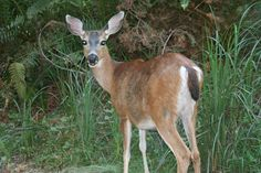 Beautiful deer share the camp with various other wildlife. They can be seem roaming the camp!