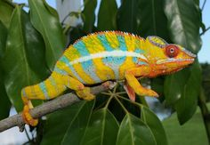 Male Ambilobe Chameleon