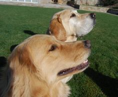 Tucker and Tanner, the yellow labs who live at Shafer Vineyards (check out their Facebook page!).
