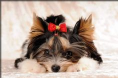 AKC PARTI Yorkshire Terriers! The American Biewer Yorkshire Terrier