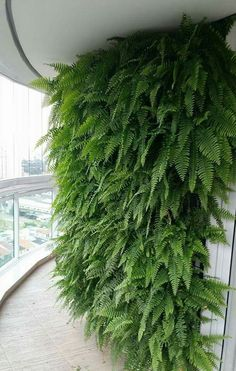 A living wall Makes your space feel more like a home with the warmth and life of a lush Boston Ferns. Their lush look works with any home décor style. I will attempt to recreate this look on a smaller scale. Vertical Garden Plants, Vertical Vegetable Gardens, Ferns Garden, Vertical Garden Design, Garden Pool, Indoor Garden, Indoor Plants, Jardim Vertical Diy, Plantas Indoor