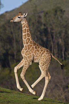 Giraffe calf at the Safari Park, Jioni