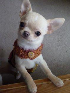 """Did I hear...TREATS!"" #Chihuahua cutie"