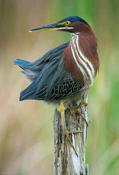 Green Heron (Butorides vierscens), Peru north to Canada, east to UK. By Steve Blain