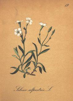 v.2 - Die Alpenpflanzen nach der Natur gemalt / - Biodiversity Heritage Library