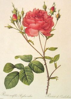 "Roses.  Pierre Joseph Redoute (1759 - 1840 ), Belgian painter and botanist, known for his watercolours of roses, lilies and other flowers at Malmaison. He was nicknamed ""The Raphael of flowers"".  He was an official court artist of Queen Marie Antoinette, and he continued painting through the French Revolution and Reign of Terror."