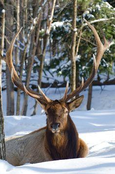 Not a reindeer...elk.