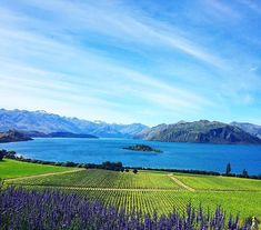 One of the most beautiful vineyards in New Zealand.  Rippon  #nz #newzealand #wanaka #vineyard #lake #travel #iphonephotography #iphoneonly #instagram #instadaily #landscape #outdoors #explore #nature #紐西蘭 #新西兰 #旅行 #旅 #山 #自然 #風景 #instapic #travelphotography #instatravel #naturelovers #mountain #photooftheday #picoftheday #lavender  Miss it Iphone Photography, Travel Photography, Insta Pic, New Zealand, Vineyard, Lavender, Most Beautiful, Journey, Outdoors