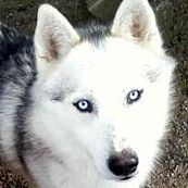 NEVADA-Loveable Boy! is an adoptable Siberian Husky Dog in Indianapolis, IN. You can read more about this wonderful boy by clicking on 'Read More About this Pet', below. We do our best to keep listin...