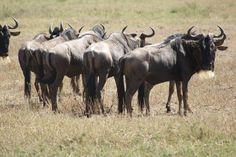 Ñus en Serengeti