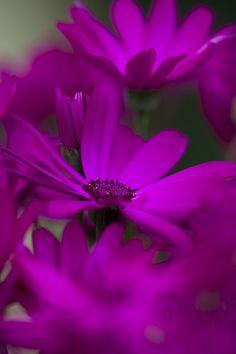 Purple Osteopermum  By Hideaki Yoshida