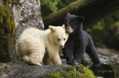 Great Bear Rainforest -  Sibling spirit bear cubs patiently wait for their mother to catch a salmon.