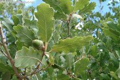 molyhos tölgy Fruit, Plants, Food, Eten, Planters, Meals, Plant, Planting, Diet