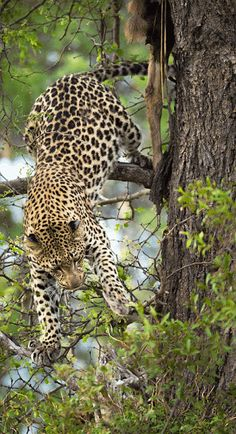 Leopard Attempting to Get a Better Footing in the Tree. Nature Animals, Animals And Pets, Funny Animals, Cute Animals, Beautiful Cats, Animals Beautiful, Big Cats, Cats And Kittens, Gato Grande