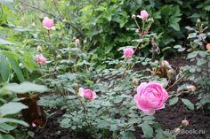 The Alnwick Rose ™ - Google Search Gardens, Google Search, Rose, Plants, Pink, Outdoor Gardens, Plant, Roses, Garden