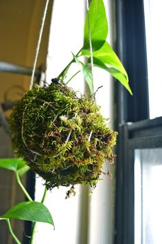 Hang a plant without a pot using moss and string.