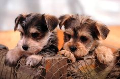 Stop Dogs Barking With Consistent Training – Today's Dog Trainer Cute Puppies, Cute Dogs, Dogs And Puppies, Schnauzer Mix, Schnauzers, Miniature Schnauzer, Animals Beautiful, Cute Animals, Stop Dog Barking
