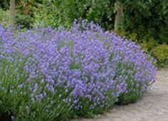 org:/gardening tips/Snoeiadvies/Individuele_pagina/Lavendel.jpg