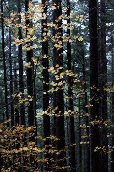 """Now I know where they get the term """"Gold Leaf"""".    Light and Leaves (by mhitchner1)  I cant wait for fall"""