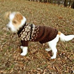 heididahlsveen:  Ronja 6måneder #jackrussel #byhund #dog #hund