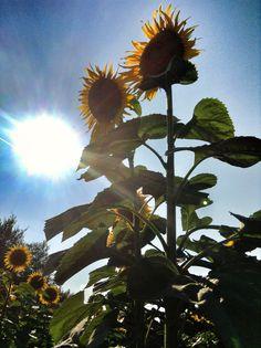 Girasoli in Monferrato Dandelion, Flowers, Plants, Flora, Royal Icing Flowers, Dandelions, Floral, Plant, Florals