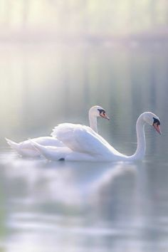 "tulipnight: "" Swan by Iris Scharfy "" A selection of bird photos Beautiful Swan, Beautiful Birds, Animals Beautiful, Swans, Animals And Pets, Cute Animals, White Swan, Swan Lake, Bird Art"