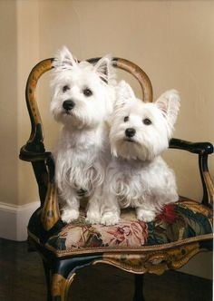 Sherlock and Lucy ~ Westie Rescue of North, TX