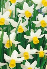 Narcissi Jack Snipe- Daffodil Bulbs Narcissus Bulbs, Narcissus Flower, Daffodil Bulbs, Bulb Flowers, Daffodils, Perennial Bulbs, British Garden, Spring Sign, Spring Garden