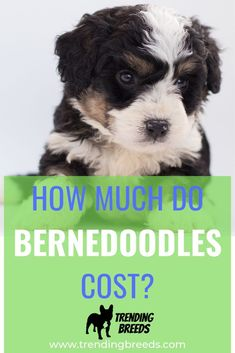 Bernedoodles are a relatively new hybrid family dog, popular because of their loving nature, playful energy, and allergy-friendly coat. How much do puppies cost? Why are they more expensive than many other breeds? How can you find a reputable breeder? We talk about it all!